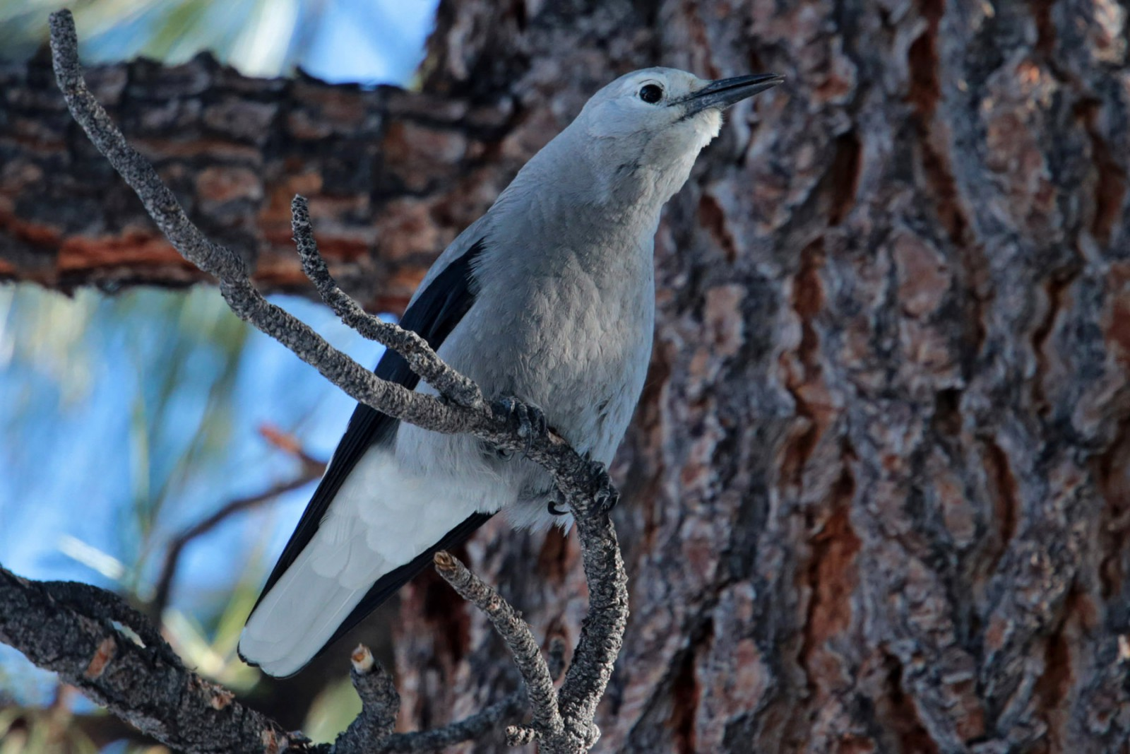 Photo of a Clark's Nutcracker, a bird who helps forests by  gathering and caching pine cone seeds.  Uneaten seeds may then sprout into new trees.