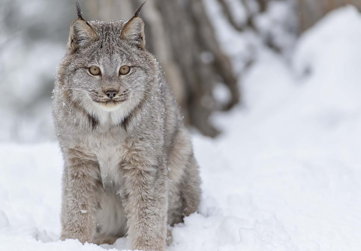 Canada lynx are differentiated from similar-looking cats by their completely black-tipped tail (bobcat tail tips are black above and white below), longer legs, more prominent ear tufts, lack of noticeable spotting, and larger paws.