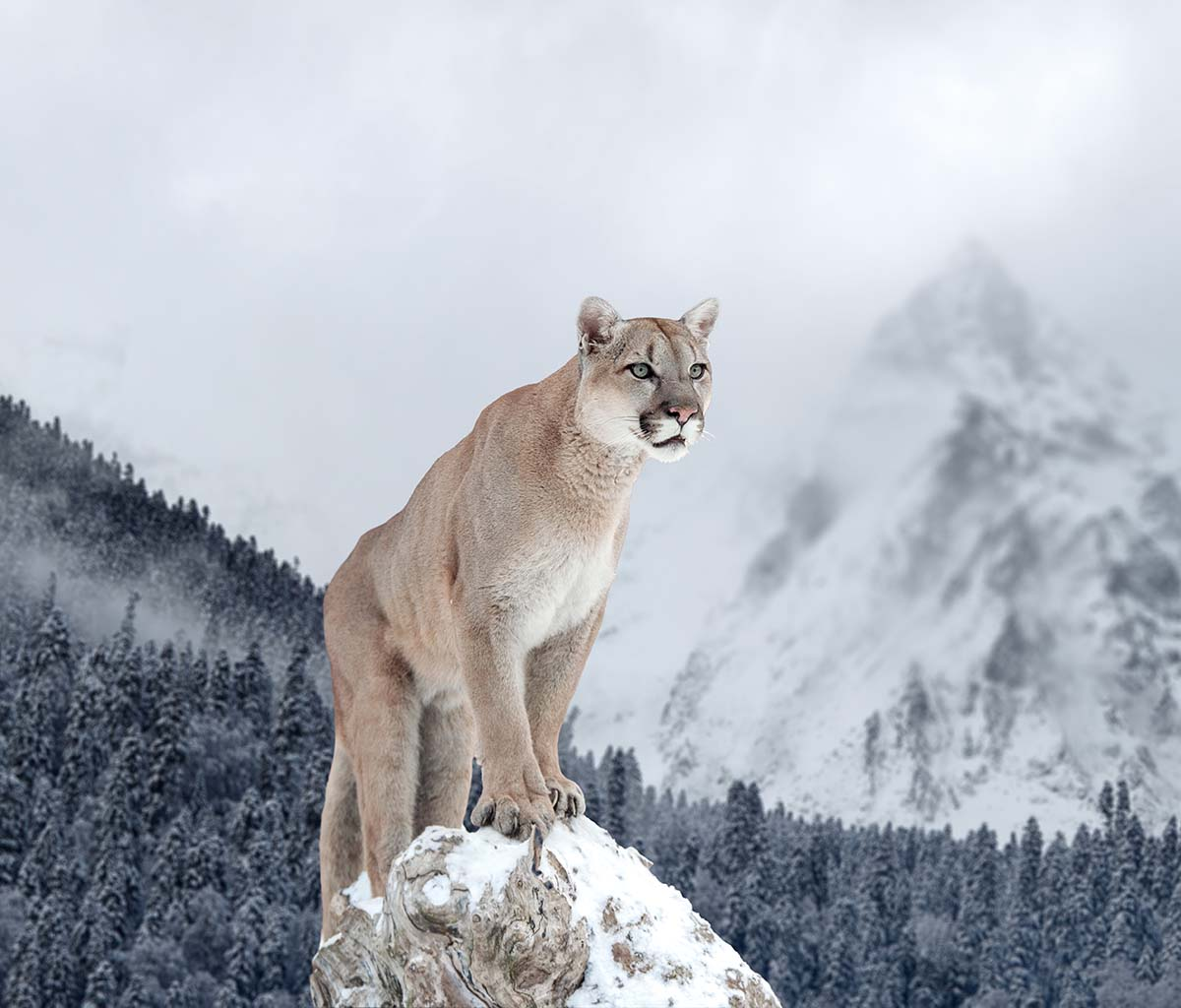The elusive and solitary cougar is also known by the names mountain lion, puma, and panther.