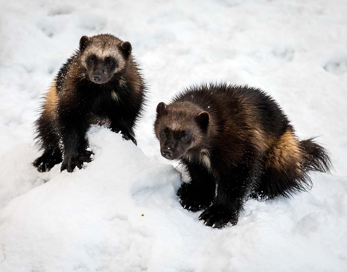 Wolverines look like a cross between a bear and a dog, but are actually the largest and fiercest member of the weasel family. They have thick, dark brown fur with long, glossy hairs and a lighter-colored stripe running the entire length of each side of their body to the base of the tail. Their eyes are set widely apart and their ears barely poke up above the hair on their heads.