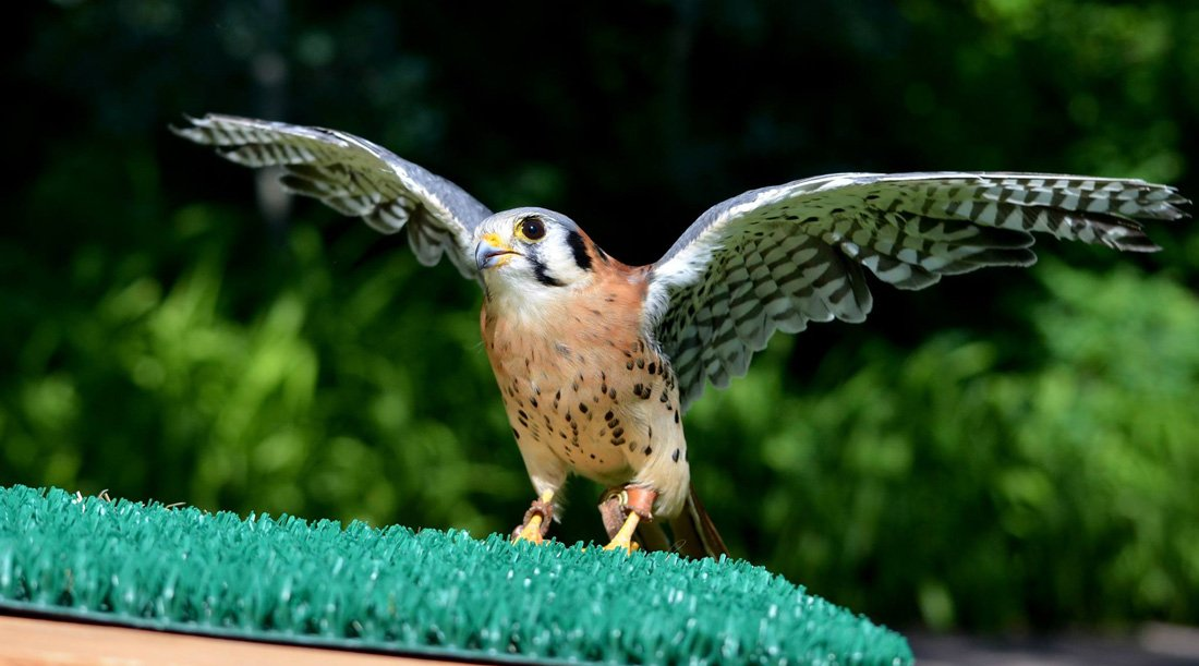Al photo of Salem and American Kestrel with it's wing spread open to demonstrate a small falcon that caches.