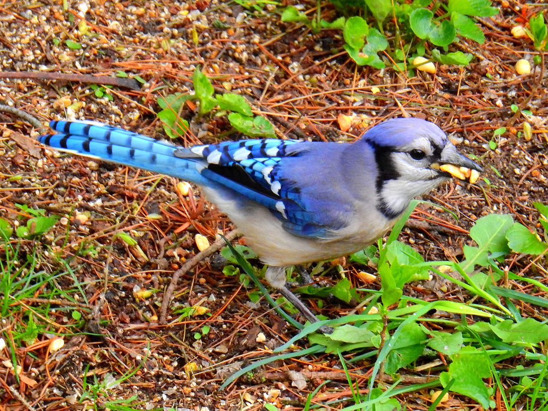 A Blue Jay is collecting peanuts on the ground to add to its cache.