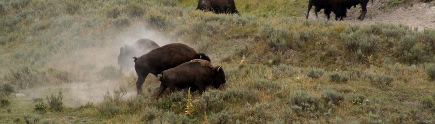 Bison in Yellowstone National Park. Nancy McClure photograph.