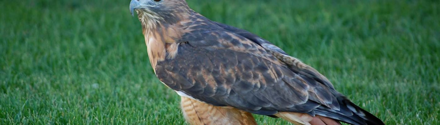 Draper Museum Raptor Experience: Isham the red-tailed hawk