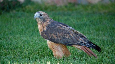 Draper Museum Raptor Experience: Isham the red-tailed hawk