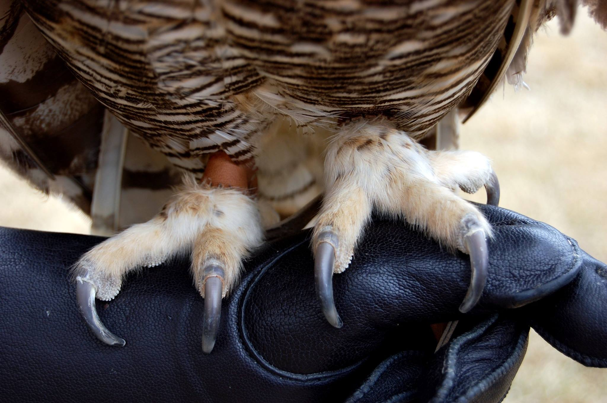 Teasdale, a Great Horned Owl, perched on a glove to demonstrate it's toe position.