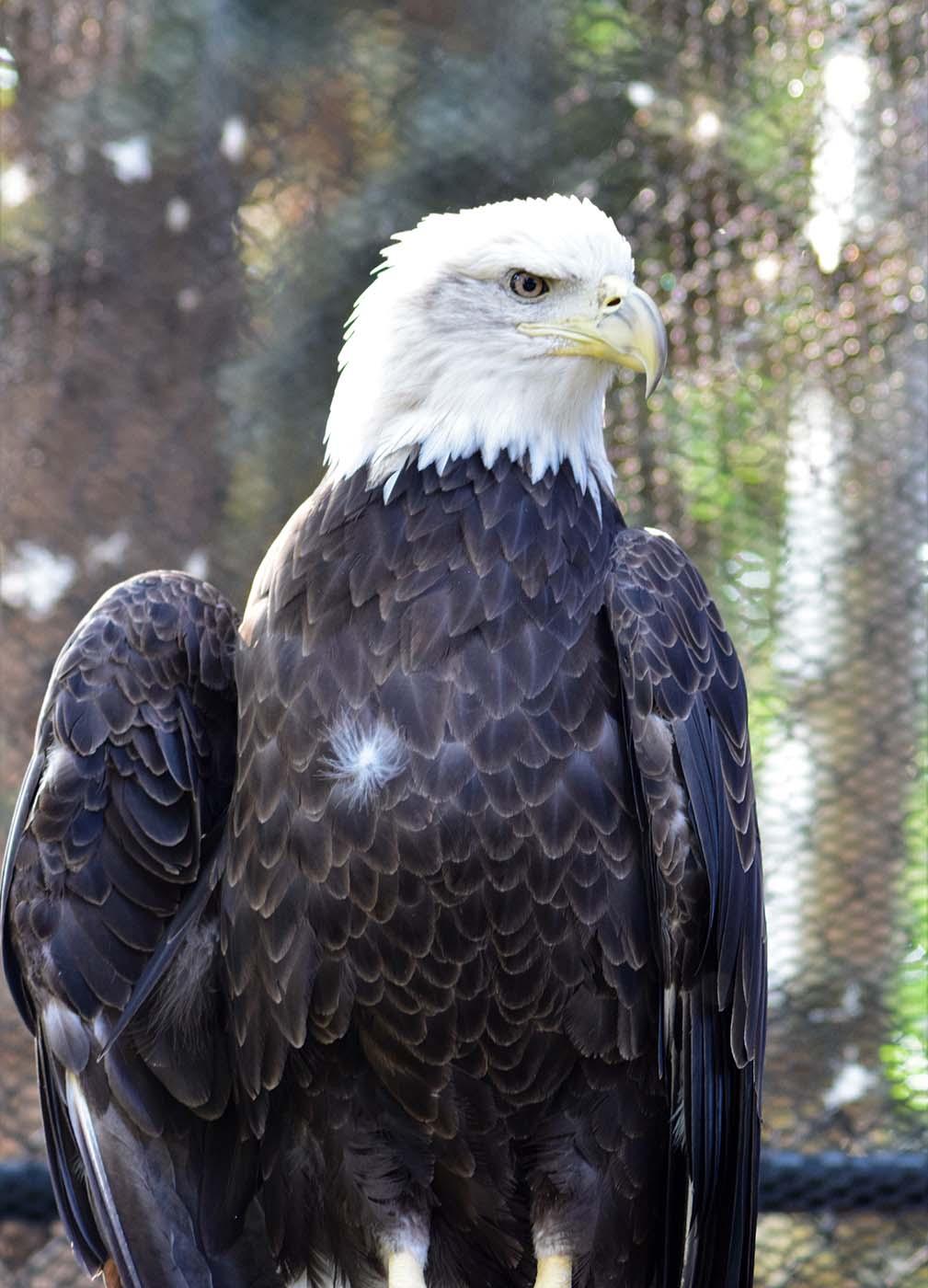 Draper Museum Raptor Experience: Jade the bald eagle