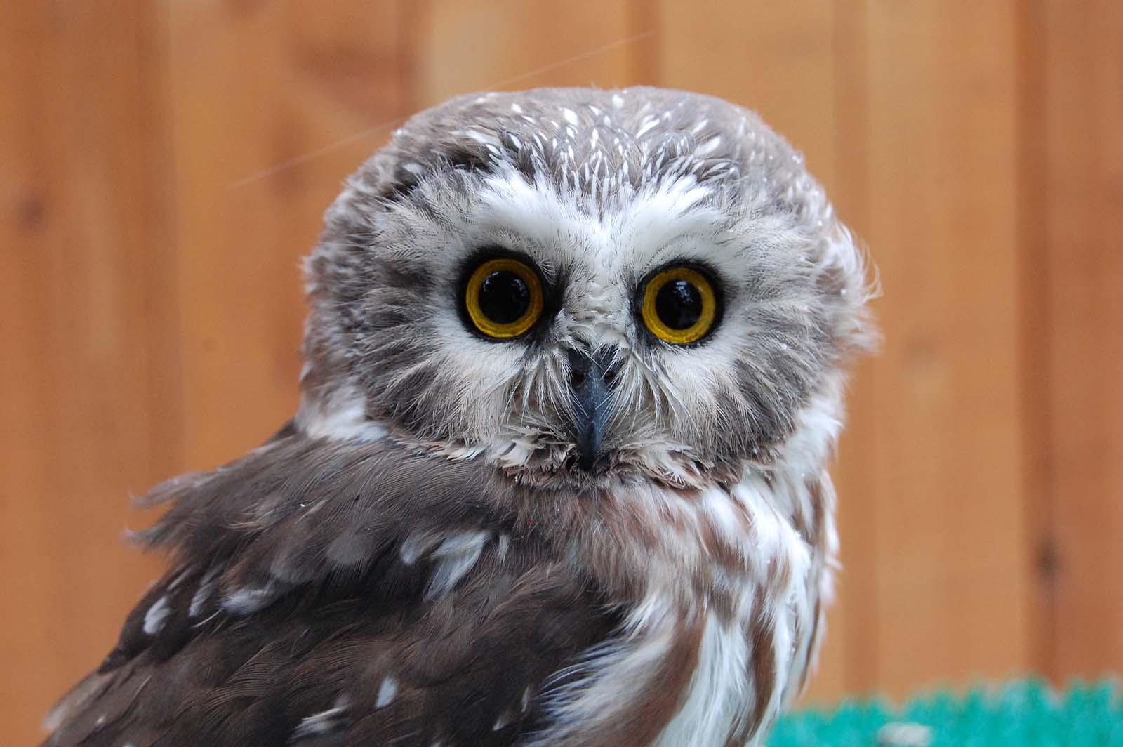 Draper Museum Raptor Experience: Remington the saw-whet owl