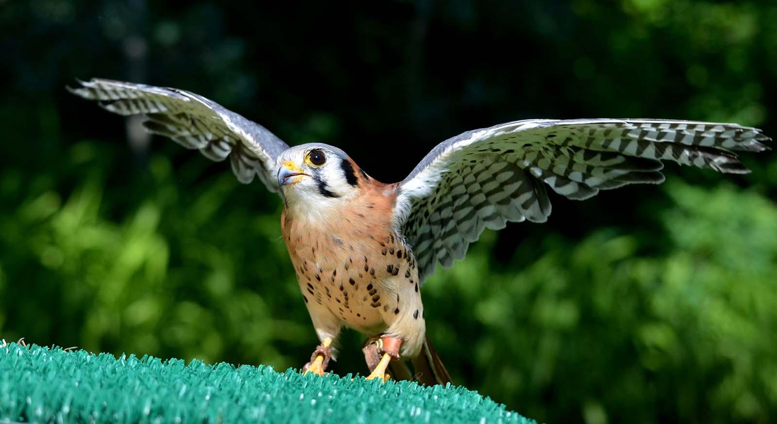 Draper Museum Raptor Experience: Kateri the golden eagle