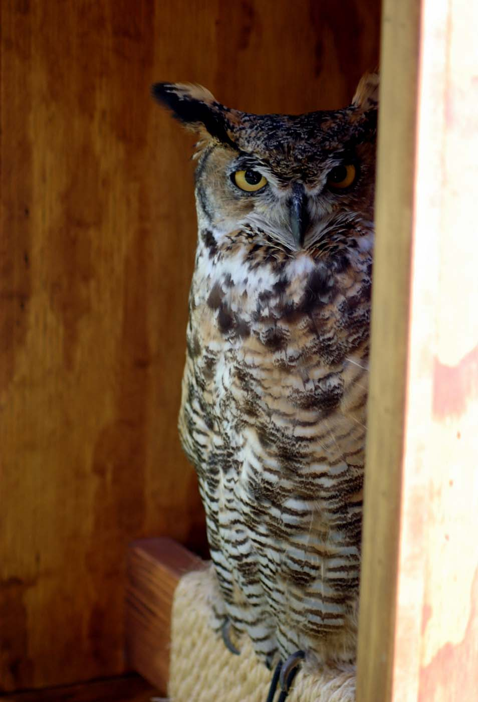 Draper Museum Raptor Experience: Teasdale the great horned owl