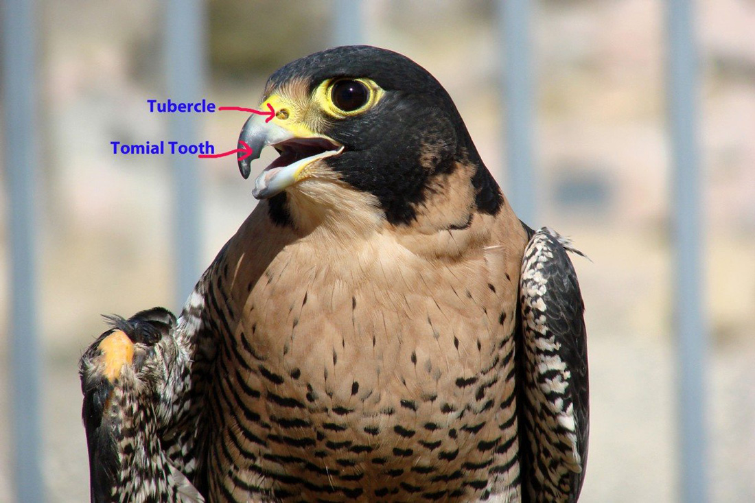 A photo of Hayabusa the Draper Museum Raptor Experience's Peregrine Falcon to demonstrate the tubercle and tomial tooth.