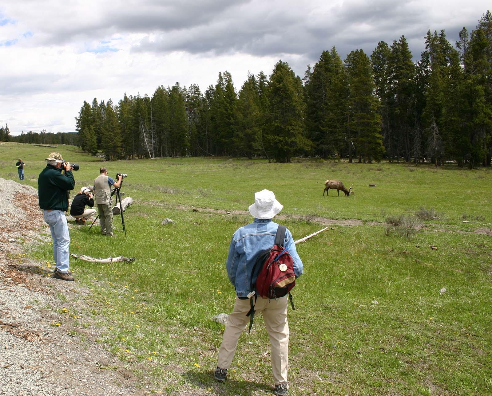 An elk provides a nice photo op.