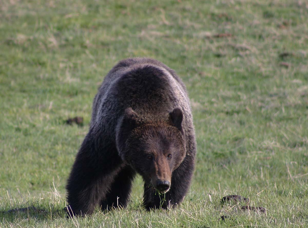 """Those in the field expedition could only hope a grizzly bear would be part of the """"Predator Parade."""" C.R. Preston photo."""