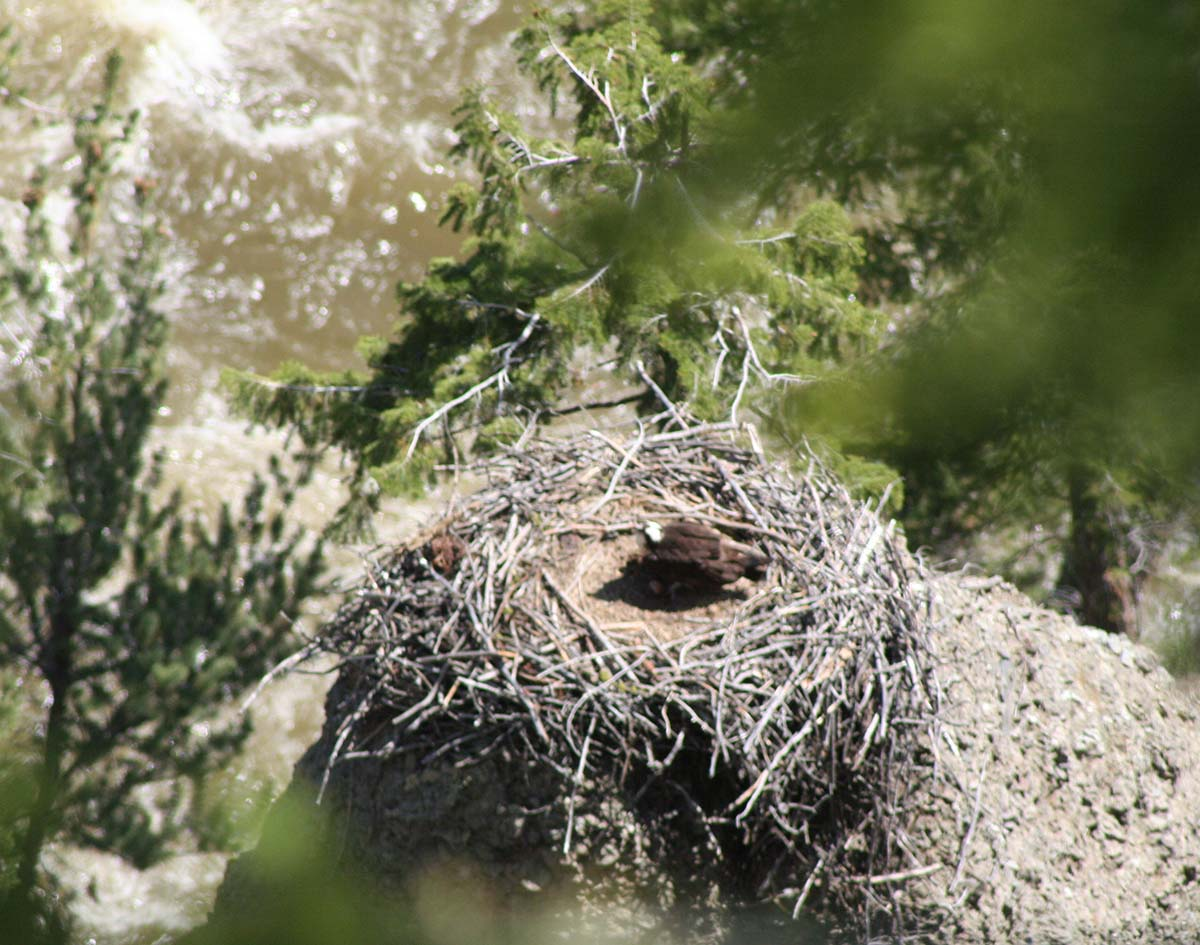There is an osprey on this nest. N. McClure photo.