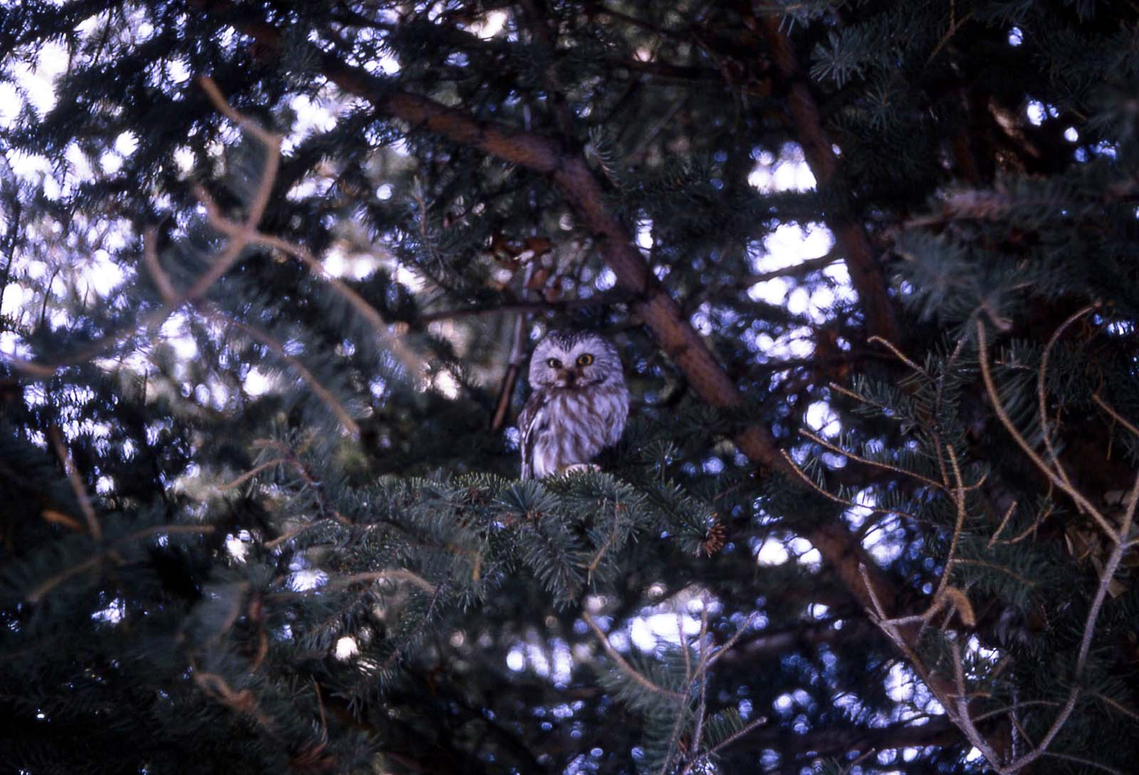 Saw-whet owl, 1967. National Park Service photo by Stan Canter.