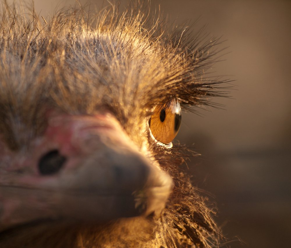 Close up photo of ostrich eye showing eye color and eyelashes.