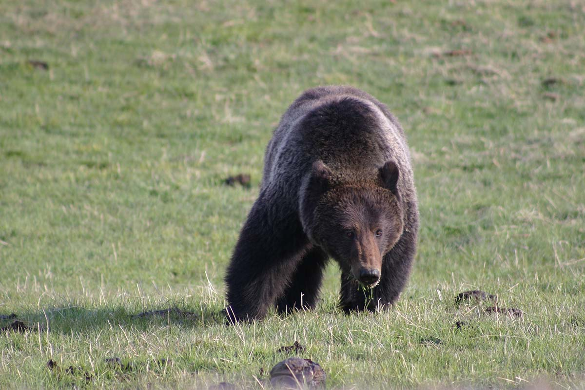 A grizzly bear requires vast tracts of land to satisfy its varied diet. Carrion, elk calves, trout, roots, and grasses fill much of the menu in spring and early summer. Army cutworm moths are a staple in mid-late summer, and whitebark pine nuts, when bountiful, keep grizzlies in the high country in fall. Photo by C.R. Preston.