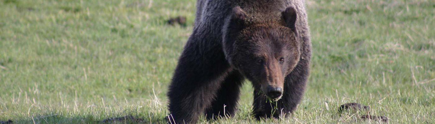 Grizzly bear. C.R. Preston photo. (detail)