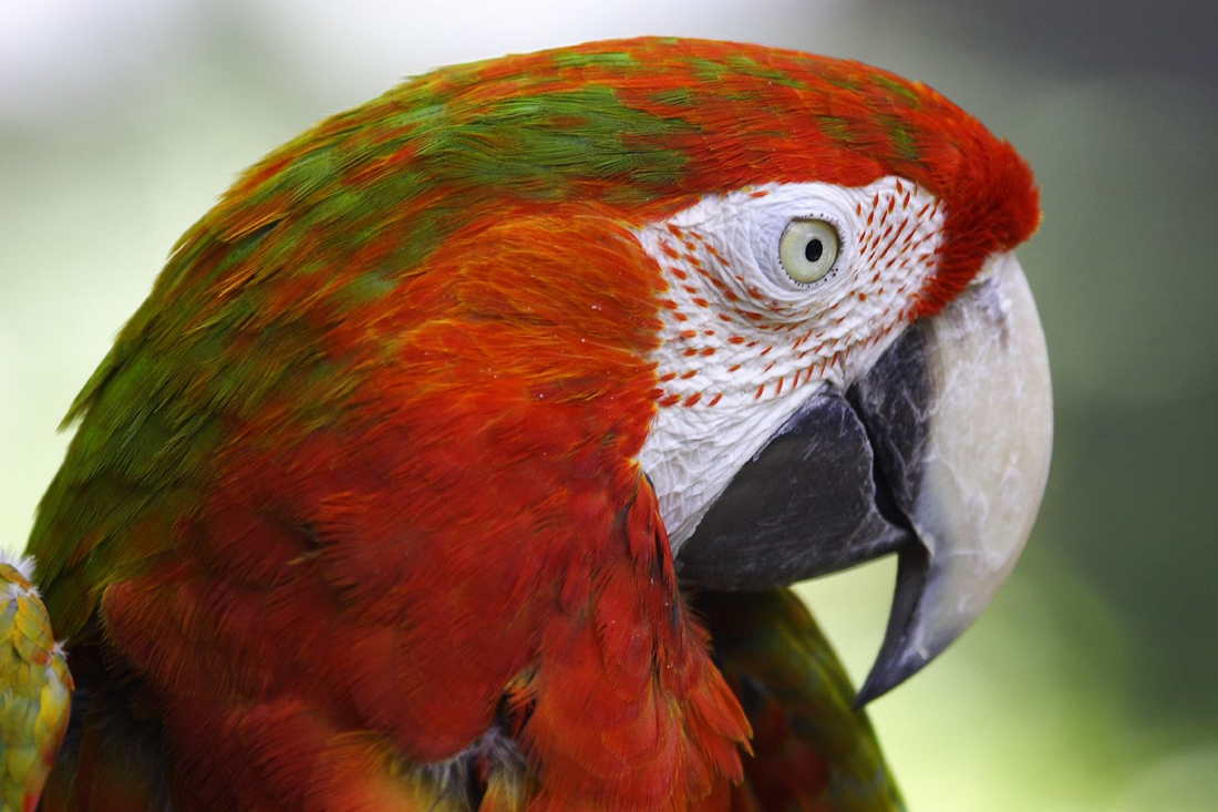 Close up of a parrot face demonstrating a white eye.