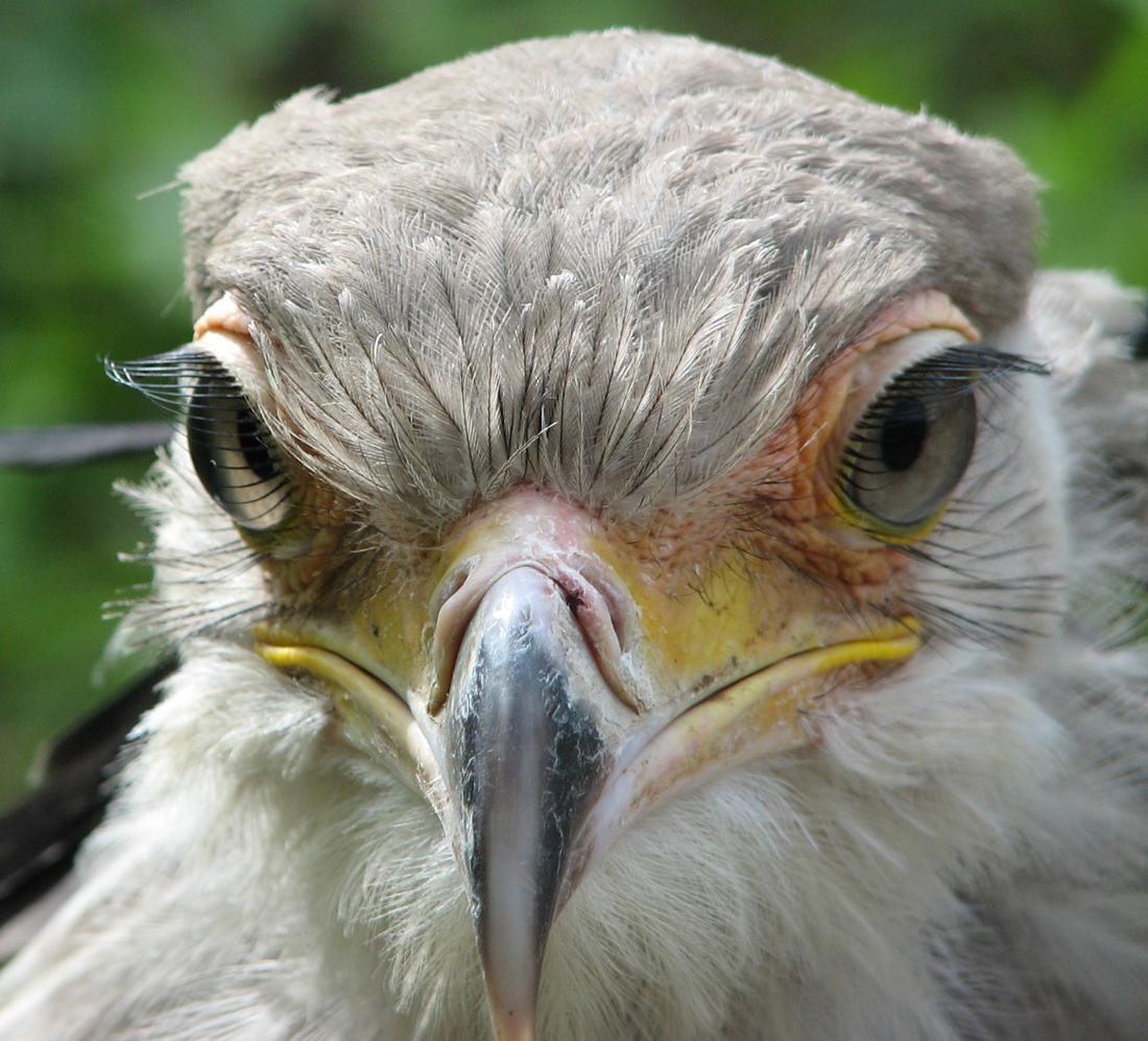 Head shot of a Secretary Bird's face demonstrating its very long eyelashes.