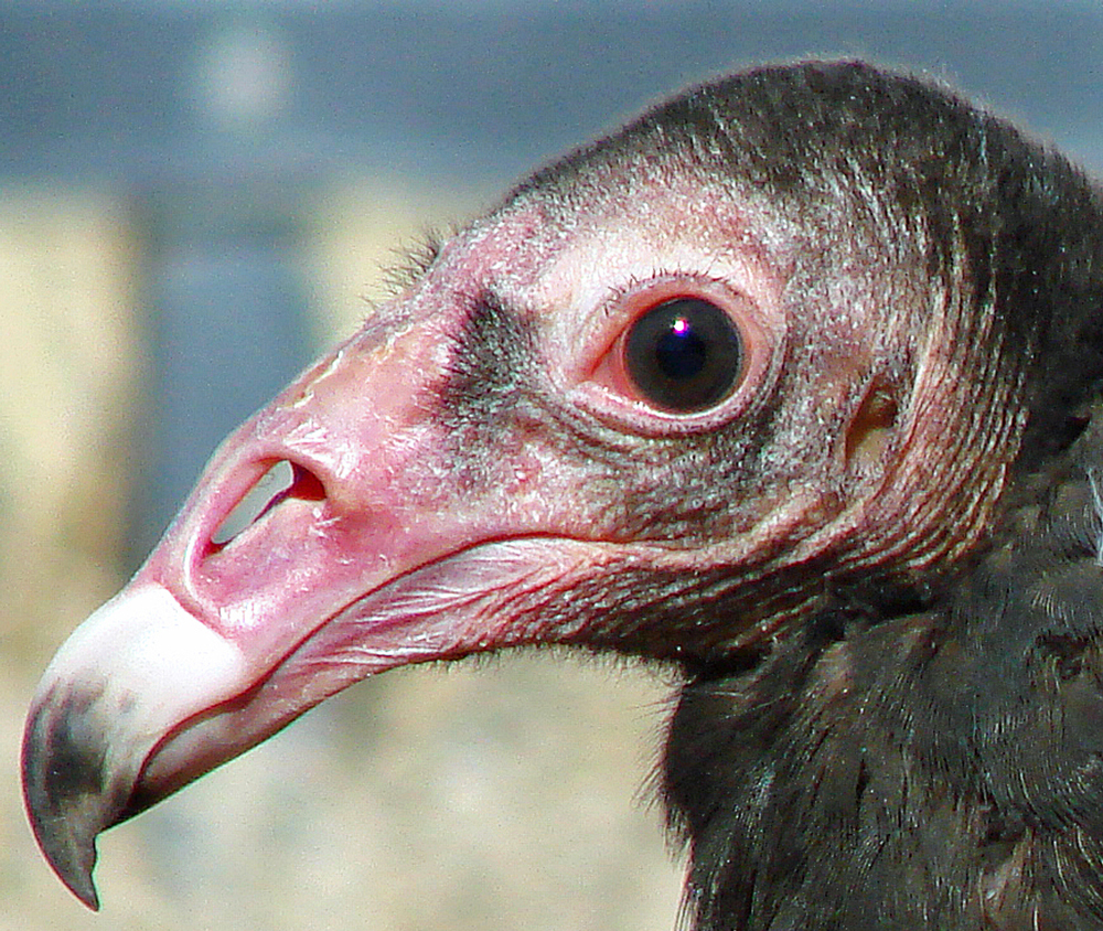 Head shot of the Draper Museum's Raptor Experience's Turkey Vulture to show her small eyelashes.