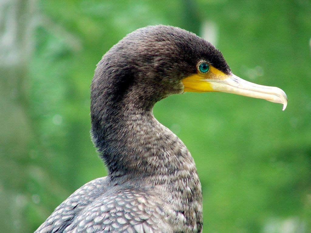 The shoulders, neck, and face of a cormorant showing the eye color during breeding season.