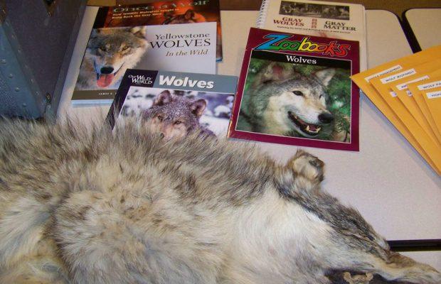 Gray Wolf Natural History trunk
